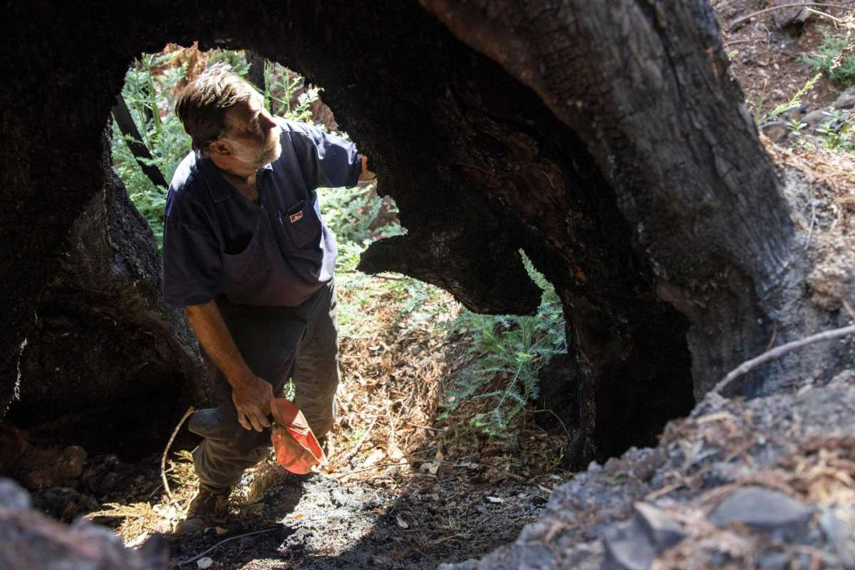 Stu Smith, co-owner of Smith-Madrone Vineyards in St. Helena, stands inside a hollowed old-growth redwood charred during the 2020 Glass Fire on the north side of Smith-Madrone Vineyards in St. Helena. Many vineyard and winery owners report that they've been dropped from their fire insurance policies or face skyrocketing premiums.